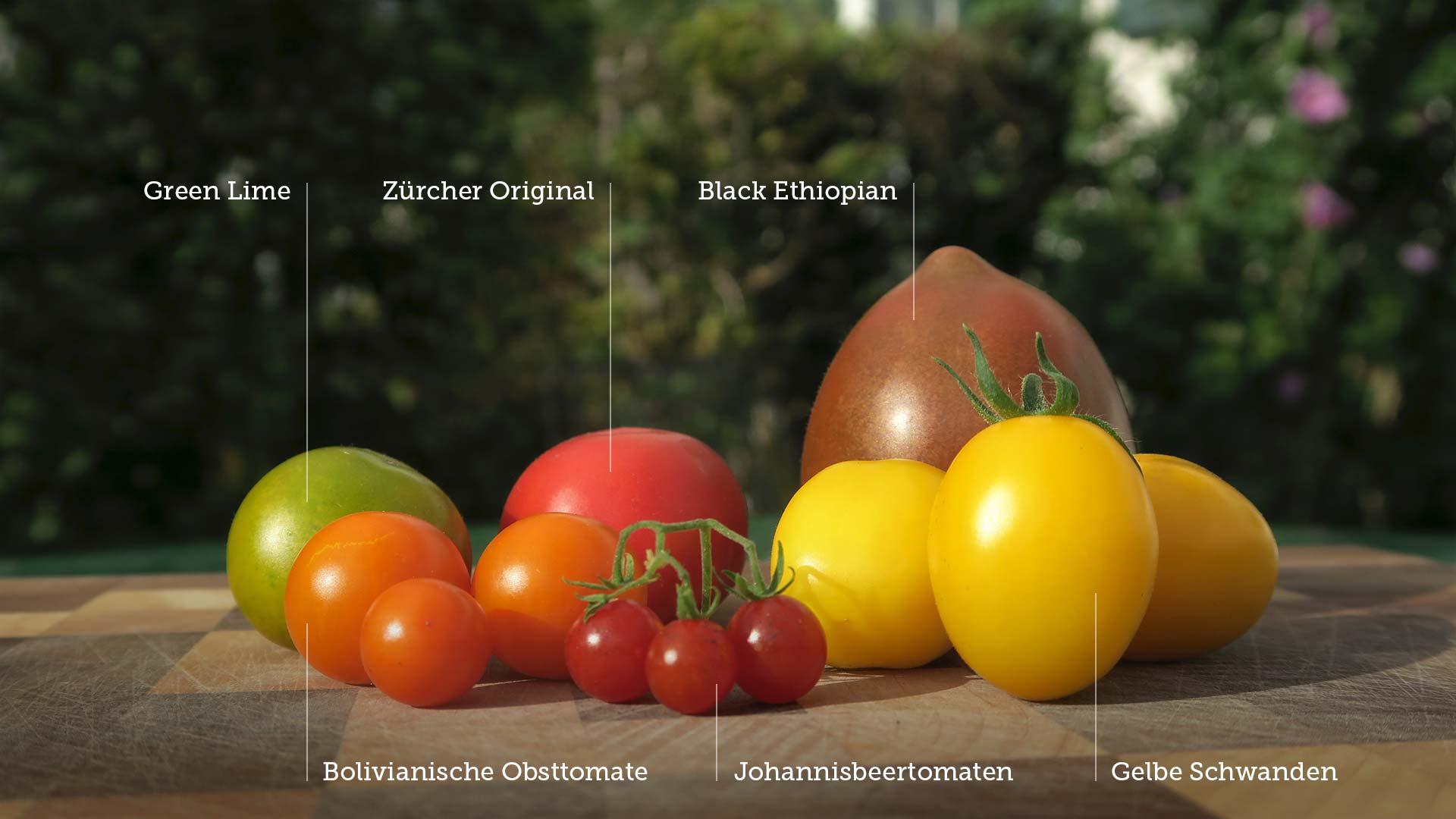 Leckere Tomaten-Ernte